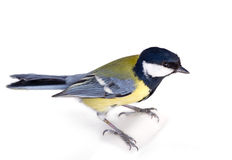Bright titmouse Stock Images
