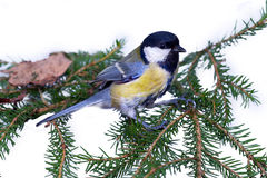 Bright titmouse Stock Photography