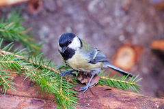 Bright titmouse Royalty Free Stock Photos