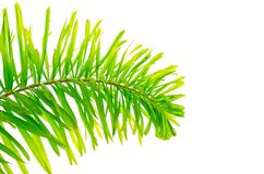 Bright tone of green foxtail palm Wodyetia bifurcata leaf isolated on white background. royalty free stock photo