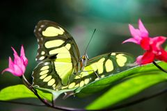 Bright tropical butterfly sitting on the leaf of vibrant flower in rainforest of Brazil. Macro.  stock photo