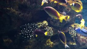Bright tropical fishes swims among corals stock video