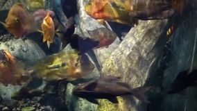 Bright tropical fishes swims in pure water. Among corals. Many colored underwater inhabitants moving in different directions stock video footage