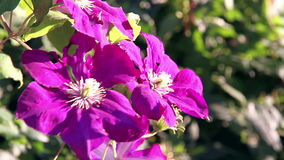 Bright Tropical Flowers. Bright pink large tropical flowers swaying in the wind stock video