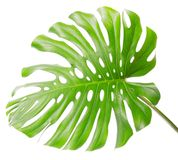 Bright tropical leaf close up with holes. Isolated on white Stock Image