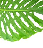 Bright tropical leaf close up with holes Stock Photos