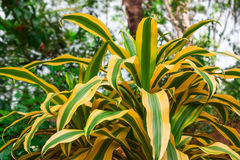 Bright tropical plant. Bright tropical plant with golden striped leaves (Dracaena Reflexa Song of Jamaica royalty free stock image