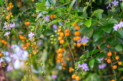 Bright tropical plant with violet flowers and orange berries. Organic tropical background. Selective focus, shallow DOF Royalty Free Stock Photography