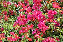 Bright tropical shrub with flowers. Stock Photos
