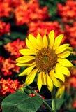 Bright tropical sunflower stock photo
