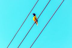 Bright tropical yellow bird with black head on the wires. Black-headed oriole, Oriolus xanthornus ceylonensis stock photography