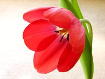 Bright Tulip. Macro Royalty Free Stock Images