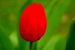 Bright Tulip Royalty Free Stock Images