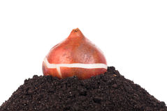Bright tulip bulb. Tulip bulb on the organic soil over white background Stock Photography