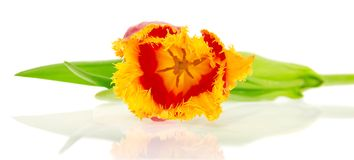 Bright tulip close up Royalty Free Stock Images