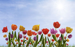 Bright Tulip Day. Spring tulips on sunny sky background Stock Photos