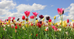 Bright tulip field in miscellaneous kinds and colors Stock Image