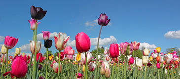 Bright tulip field in miscellaneous kinds and colors, blue sky Stock Photo