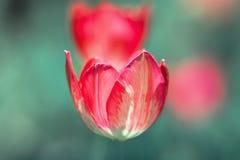 Bright Tulip flower Royalty Free Stock Image
