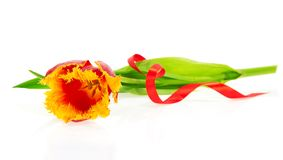 The bright tulip and red tape Stock Photo