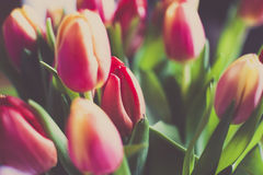 Bright Tulip time Royalty Free Stock Photo