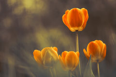Bright tulips on a beautiful blurred background. Place for text. Stock Photography