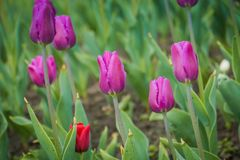 Tulips Blooming in the Flowerbed. Bright tulips blooming, spring flowers in the flowerbed, city streets decoration Royalty Free Stock Photos
