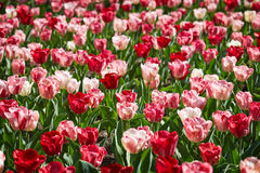 Bright tulips glade Royalty Free Stock Images