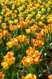 Bright tulips glade Royalty Free Stock Photos