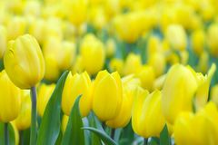 Bright tulips in a soft focus, spring flowers close-up in the ga Royalty Free Stock Image