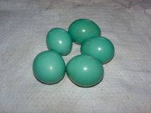 Bright Turquoise Colored Great Tinamou Tinamus major eggs in Amazon. stock photography