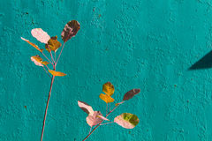 Bright turquoise peeling paint and autumn leaves. Royalty Free Stock Image