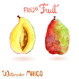Bright vector watercolor hand drawn fruit mango Royalty Free Stock Images