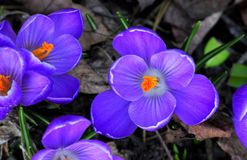 Bright and vibrant Blue Crocus royalty free stock photo