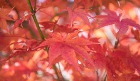 Close up photo of bright red japanese maple leaves hanging on a tree in the fall. stock photos