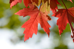 Bright vibrant color maple tree (acer) leaves. In fall Royalty Free Stock Image