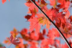 Bright vibrant color maple tree (acer) leaves in fall. Bright vibrant color maple tree (acer) leaves on tree in fall Royalty Free Stock Image