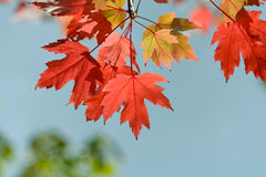 Bright vibrant color maple tree (acer) leaves in fall. Bright vibrant color maple tree (acer) leaves on tree in fall Royalty Free Stock Images