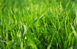 Bright vibrant green grass close-up. Greed grass in a dew. Close up shot with selective focus and beautiful natural bokeh Royalty Free Stock Photography