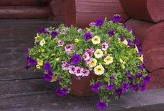 Bright vibrant petunia flowers Stock Photos