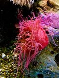 Bright Vibrant Pink Sea Anemone. With many long skinny tentacles in a vibrant aquarium royalty free stock images