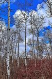 Bright Vibrant Row Of Birch Trees stock images