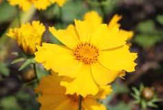Vibrant Yellow Coreopsis Flower stock photos