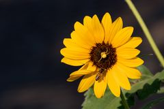 Bright, vibrant yellow sunflower occupied by a small yellow spider and a honey bee at the center of the bloom set against a black. Bright, vibrant yellow stock image