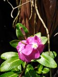 The bright vinca looks more comfortable. royalty free stock photo