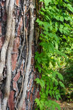 Bright vines climb the thick trunk of a tree. Royalty Free Stock Photo