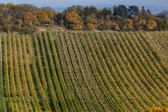 Bright Vineyard Plantations and Rolling Hills in the Autumn Mont Stock Photo