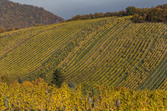 Bright Vineyard Plantations and Rolling Hills in the Autumn Mont Stock Images