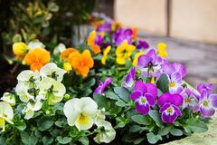Bright viola tricolor heart-ease flowers for gardening. Bright viola tricolor or kiss-me-quick heart-ease flowers in small pots at market for gardening, beauty stock images