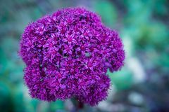 Close-up image of an ultra violet flower. Bright-violet flower on an emerald background. Inflorescence in the form of a ball and consists of many small flowers